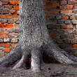 Root of tree by brick wall — Stock Photo