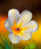 White and yellow tulip — Stock Photo
