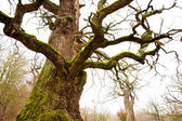 Mighty oak tree — Stock Photo