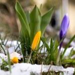������, ������: Crocus in melting snow