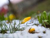 Yellow crocus in melting snow — Stock Photo