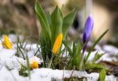 Crocus in melting snow — Stockfoto