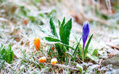 Crocuses with rime frost — Stock Photo