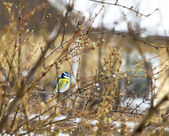 Blue tit — Stockfoto