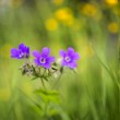 Wood cranesbill — Stock Photo #48365031