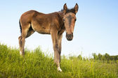 Curious foal in green field — Stock Photo