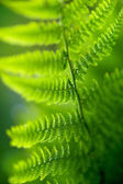 Back lit fern leaf — Stock Photo