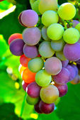 Colorful bunch of grapes — Stock Photo