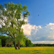 Lonely tree on a green summer meadow — Stock Photo #48839733