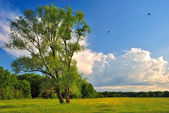 Lonely tree on a green summer meadow — Stock Photo