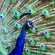 PeacockDisplay — Stock Photo #37101855