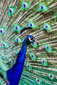 PeacockDisplay — Stock Photo