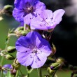 Blue wild geraniium flowers on meadow in sunshine — Stock Photo