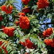 Rowan tree with clusters of ripe,red berries — Stock Photo