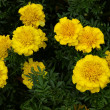Yellow marigold flowers in my garden on bed — Stock Photo #12417746