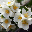 White flowers of jasmine shrub — Stock Photo