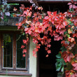 Royalty-Free Stock Photo: Cottage and red leaves of creeper at autumn