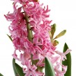 Pink hyacinth as first spring flower - Stock Photo