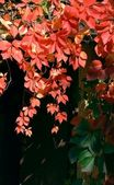 Red leaves of creeper at autumn — Stock Photo