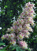 Chestnut tree in blossom — Stockfoto