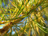 Twig of larch tree at autumn — Stock Photo