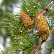 Stock Photo: Larch tree with cones