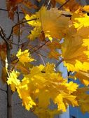 Gold leaves of maple tree at autumn — Stock Photo