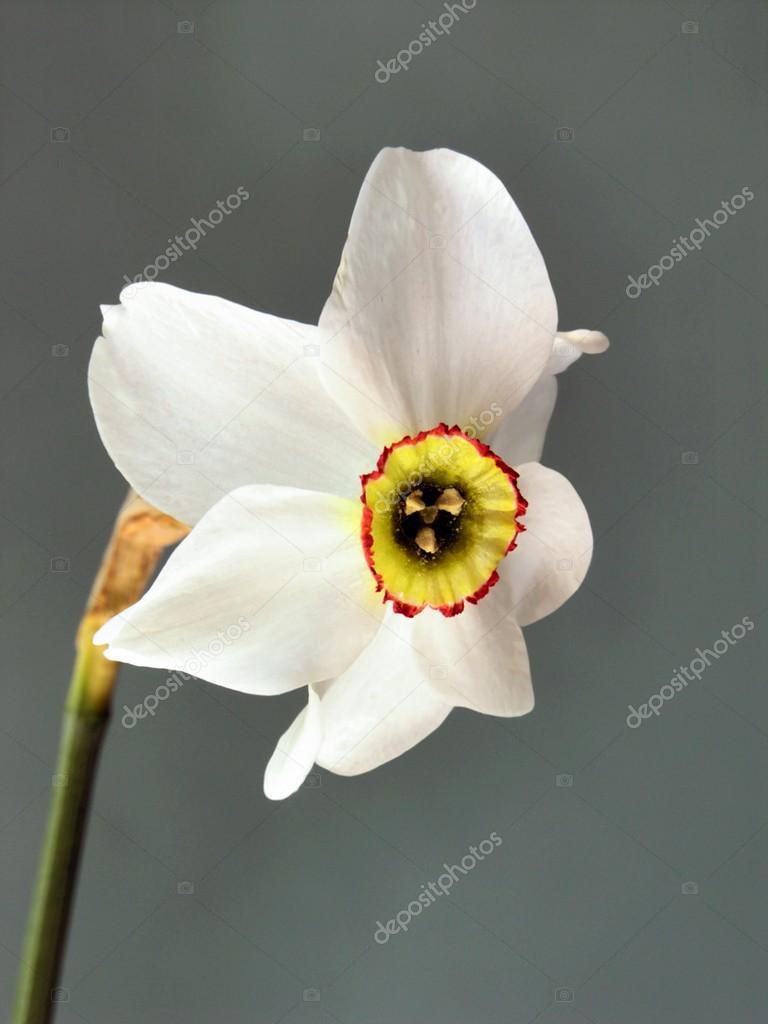 Fiori bianchi profumati di narciso foto stock manka for Fiori bianchi profumati