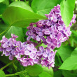 Clusters of lilac flowers — Stock Photo