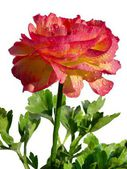 Red flower of buttercup — Stock Photo