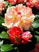 Rhododendron plant in blossom — Stock Photo
