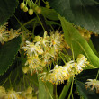 Flowers of linden tree close up — Stock Photo