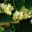 Yellow flowers of linden tree as natural medicine — Stock Photo #27403485