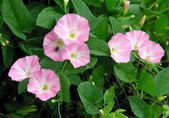 Bindweed with pink flowers — Stok fotoğraf