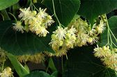Yellow flowers of linden tree as natural medicine — Foto Stock