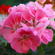 Pink flowers of geranium pot-plant on balcony — Stock Photo