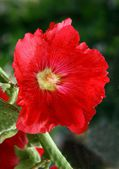 Red flower of mallow perennial plant in garden — Stock Photo