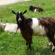 Goats on pasture — Stock Photo