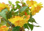Yellow flower of begonia — Stock Photo