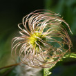 Ripe,dry seeds of clematis plant — Stock Photo