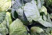 Green,early cabbage — Stock Photo
