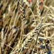 Dry wheat ears with ripe seeds on field in summer — Stock Photo