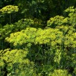 Dill vegetable plants blossoming — Stock Photo #29161677