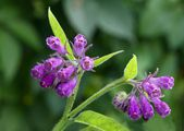 Comfrey with lila flowers — ストック写真