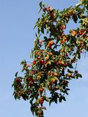 Dogberry tree with edible,tasty fruits — Stockfoto