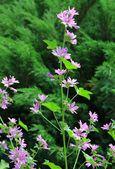 Wild mallow herb in blossom — Stock fotografie