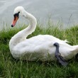 White swan — Stock Photo #29499269