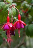 Rode en paarse bloemen van fuchsia close-up — Stockfoto