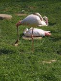 Pink African birds flamingo — Stock Photo