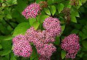 Dwarf japonica bush with pink flowers — Stock Photo